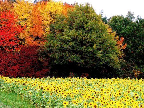 Sunflowers, Romantic Road, Germany, Autumn trees, Romantische Strasse