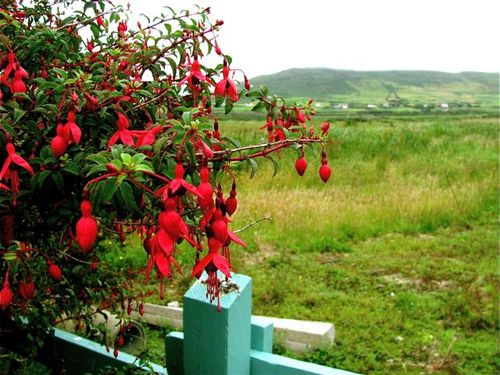 Ireland Fuschia Dingle red flower green landscape