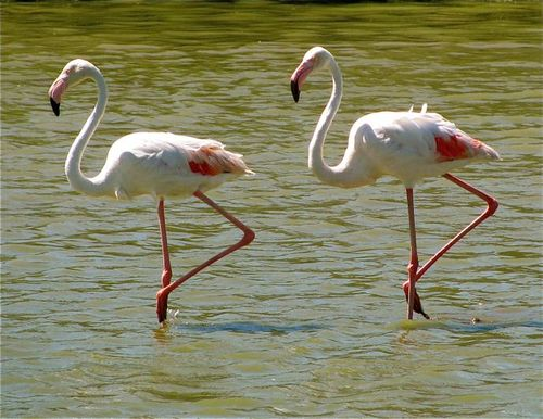 Stes. Maries de la Mer camargue france flamingos