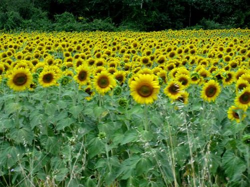 family travel portugal sunflowers on European road trip