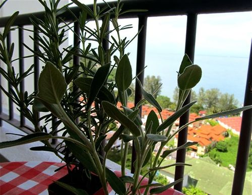 growing organic herbs in our winter garden on our terrace in Penang