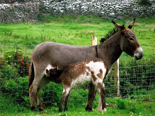 family travel ireland, green farm, nursing animals
