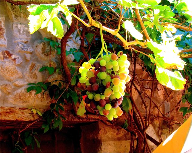 wine tasting with kids - beautiful grapes