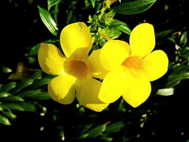 beautiful yellow tropical flower