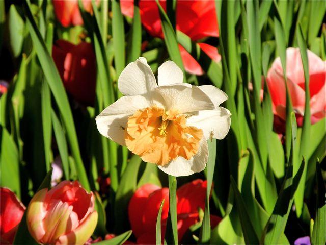 daffodil and tulips