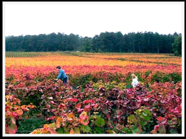 Stunning Fall Colors Around the World! Burgundy Vineyard at Harvest