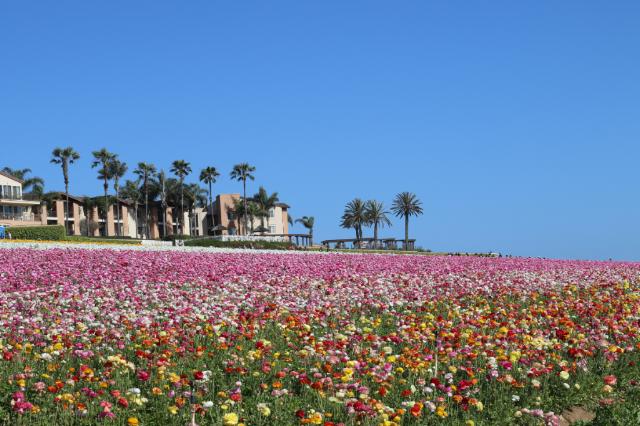 Spring Trip to Flower Fields