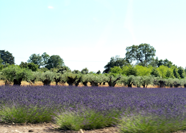 olive trees and lavender fields in luberon Provence