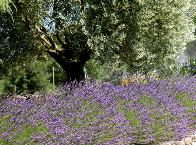 Lavender and olive tree in Provence