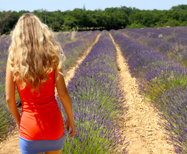 Provence travel means lavender fields