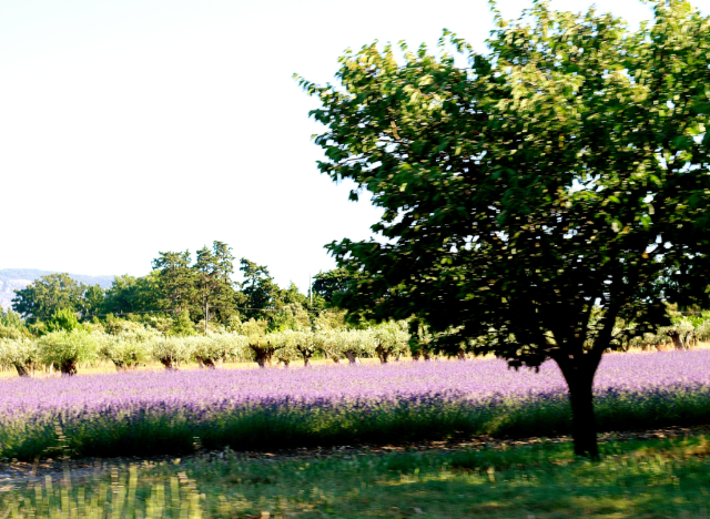 Visiting the Best Lavender Fields in Provence